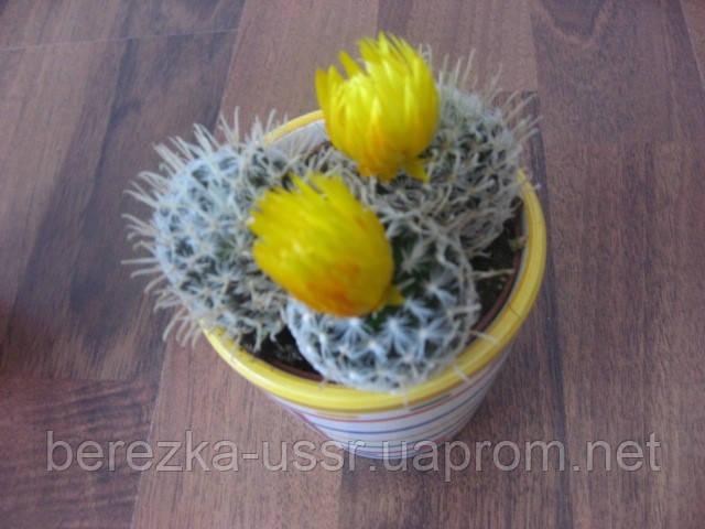 красивый кактус с горшочком