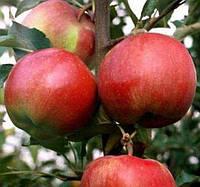 Яблоня Росавка. (54-118). Зимний сорт., фото 1