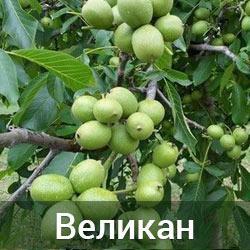 Саженцы грецкого ореха Великан трехлетний