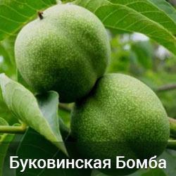 Саженцы грецкого ореха Буковинская Бомба трехлетний