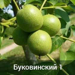Саженцы грецкого ореха Буковинский-1 двухлетний