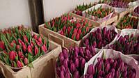 Тюльпаны оптом живые