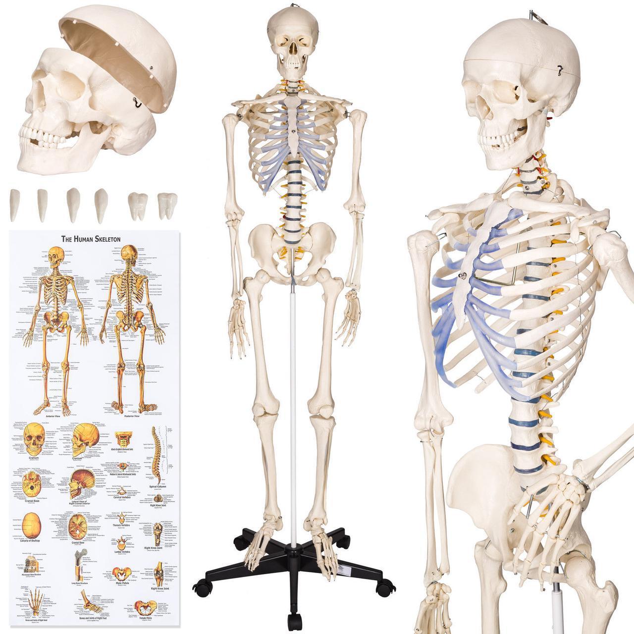 Объемный анатомический скелет человека 181 см