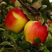 Яблоня Амброзия. (Р 14). Зимний сорт., фото 1