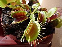 Уход Дионея мухоловная, венерина мухоловка (Dionaea muscipula)