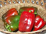 Клаудио F1 10 шт семена сладкого перца Nunhems Голландия, фото 4