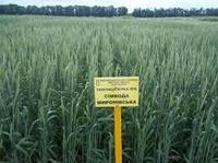 Семена пшеницы яровой Симкода мироновская, супер элита