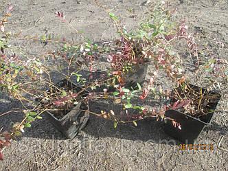Саженцы клюквы Эрли Блек, фото 2