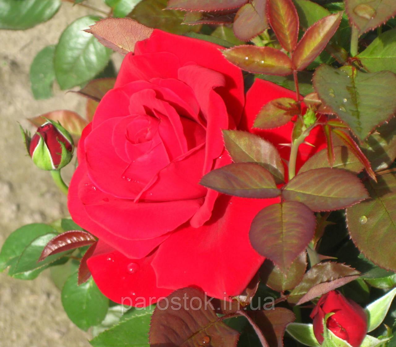 Роза Конрад Хенкель. Чайно-гибридная роза
