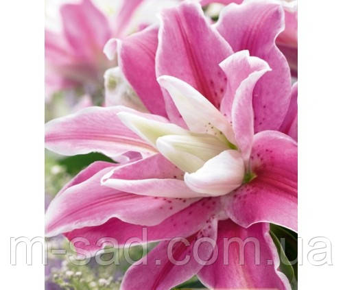 Лилия ориентальная махровая Sweet Rosy 14/16 НОВИНКА, фото 2