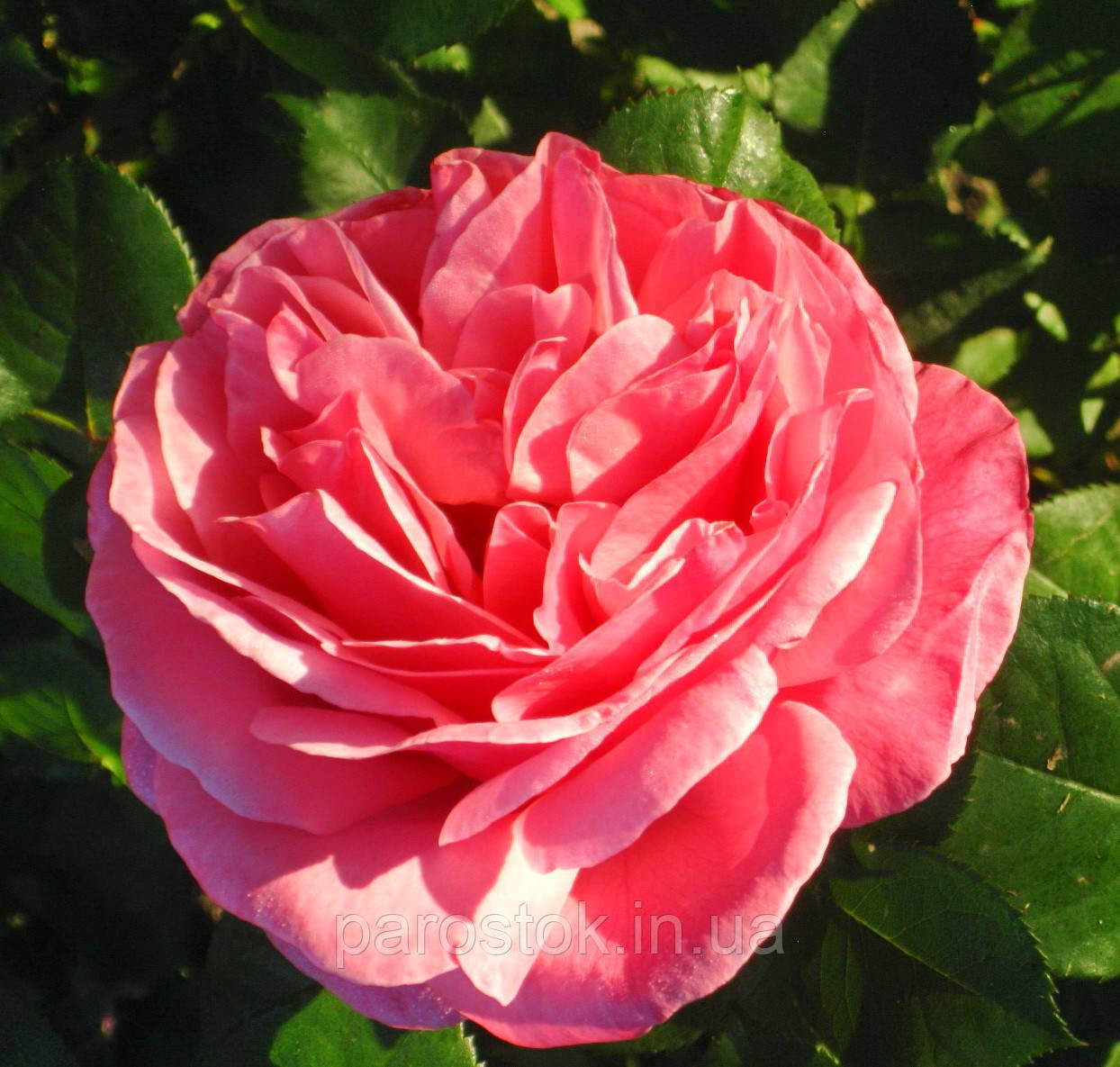 Роза Ив Пьяже. Чайно-гибридная роза