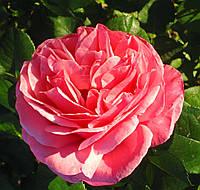 Роза Ив Пьяже. Чайно-гибридная роза, фото 1