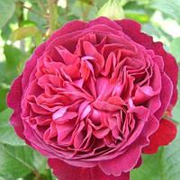Троянда англійська Вільям Шекспір