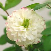 Роза бордюрная Грин Айс