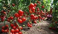 Хитомакс F1 семена томата индет. Kitano Seeds 1 000 семян