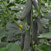 Семена огурца Ратник (315) F1 (Ratnik F1) 250 сем., партенокарпического