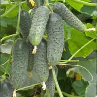 Семена огурца Сертел F1 (Sertel F1) 2500 сем., партенокарпического