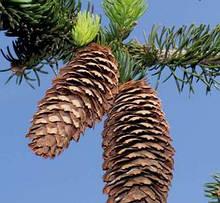 Ялина (Picea)