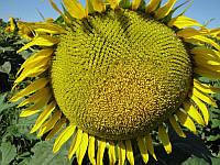 Семена подсолнуха под гранстар Рекольд
