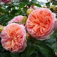 Троянда англійська Чіппендейл