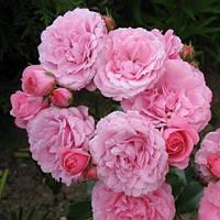 Роза флорибунда Роял Боника