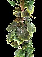 Лиана суданская роза, листья яблони 14 метров