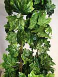 Лиана клен зеленый вся длина 14 метров, фото 6
