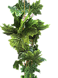 Лиана клен зеленый вся длина 14 метров, фото 2