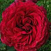 ТРОЯНДА  Rose des 4 Vents Роза 4х вітрів  ВКС