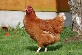 Курчата яєчного кросу