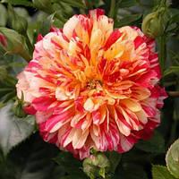 Роза миниатюрная Бигуди