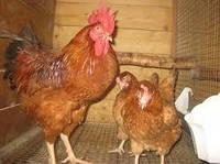 Добові курчата Редбро