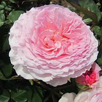 Троянда англійська Джеймс Гелвей