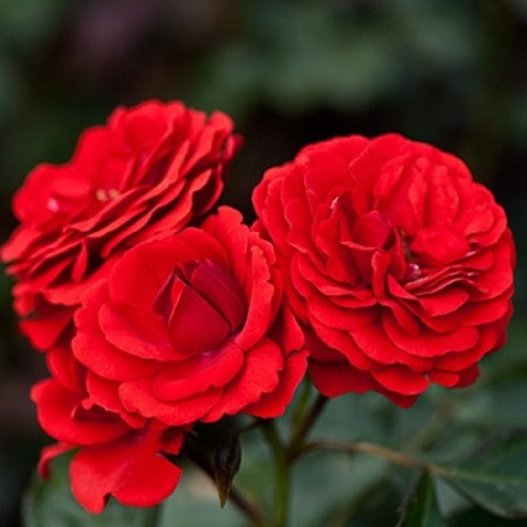 Роза бордюрная Кордула