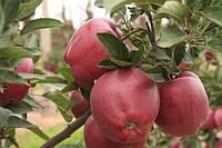 """Саджанці яблунь """"Ріхард"""""""