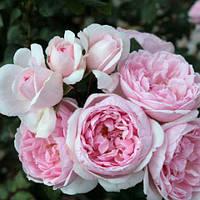 Роза Сіндерелла