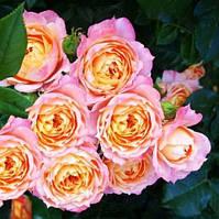 Троянда флорибунда Бриоза