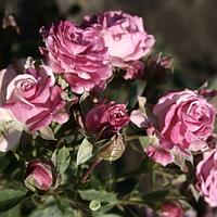 Роза бордюрна Лілі Венді