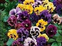 Виола Рококо цветы двухлетние низкорослые, неприхотливое растение семейства Фиалковые
