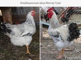 Добові курчата Мастер Грей