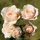 Саженцы розы - спрей Яна (Jana), фото 2