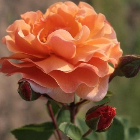 Роза флорибунда Вестзейт
