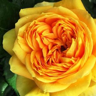 Саженцы парковой  розы 100 Идей Сада (100 Idees Jardin)