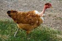 Добові курчата Голошийка (Іспанка)