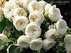 Саженцы розы - парковой Артемис (Artemis), фото 3