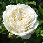 Саженцы розы - парковой Артемис (Artemis), фото 2