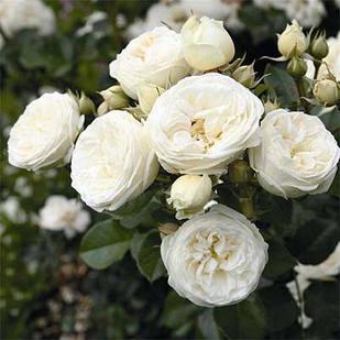 Саженцы парковой розы Артемис (Artemis)