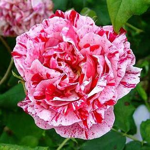 Саженцы парковой розы Фердинанд Пичард (Ferdinand Pichard)