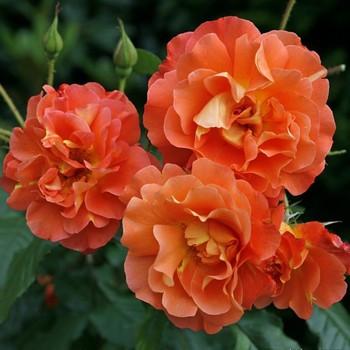 Саджанці кущової троянди Вестерленд (Rose Westerland)