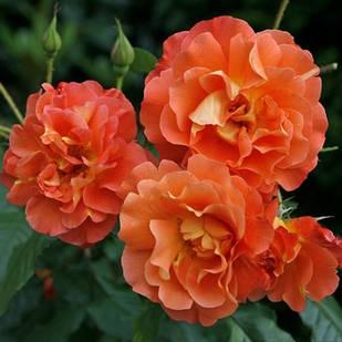 Саженцы парковой розы Вecтерленд (Westerland)